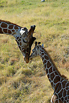 African wildlife edit