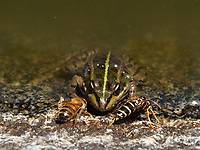 At the water point a honeybee and a wasp drink very close to a frog