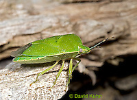 0720-07uu  Green Stink Bug - Acrosternum hilare - © David Kuhn/Dwight Kuhn Photography