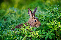 Varying Hare or Snowshoe Hare (Lepus americanus) among lupine leaves.  Pacific Northwest.  June.