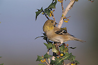 American Goldfinch, Carduelis tristis, adult on Agarita(Mahonia trifoliolata) winter plumage, Welder Wildlife Refuge, Sinton, Texas, USA, March 2005