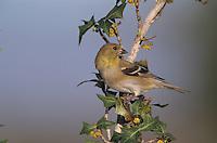 American Goldfinch, Carduelis tristis, adult on Agarita(Mahonia trifoliolata) winter plumage, Welder Wildlife Refuge, Sinton, Texas, USA, March 2005
