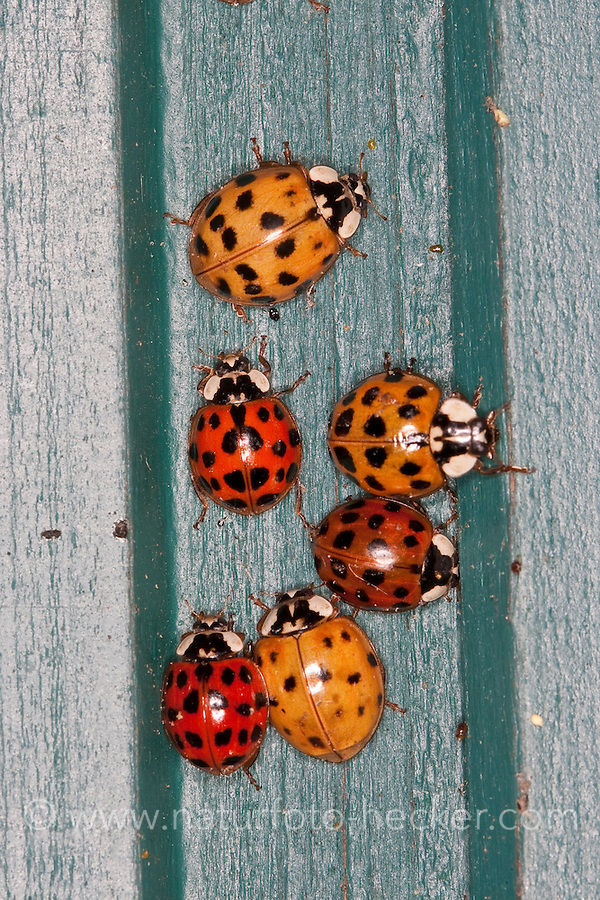 Asiatischer Marienkäfer, Harlekin, Massenansammlung im Herbst zur Überwinterung an einem frostsicheren Platz, Harmonia axyridis, Asian lady beetle, Harlequin lady beetle