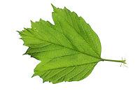 Gemeiner Schneeball, Gewöhnlicher Schneeball, Viburnum opulus, European Cranberrybush, Guelder Rose, La viorne obier. Blatt, Blätter, leaf, leaves