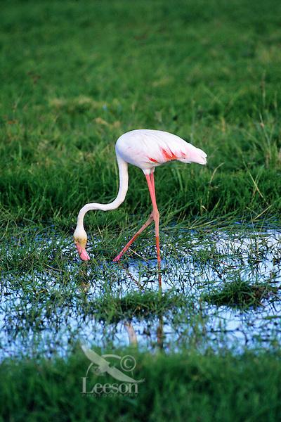 Greater Flamingos (Phoenicopterus ruber), Africa.