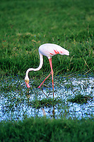 Greater Flamingos (Phoenicopterus ruber), Africa.