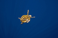 Loggerhead Sea Turtle, Caretta caretta, Endangered (IUCN) with gooseneck barnacles, Lepas anatifera on the carapace, Pico Island, Azores, Portugal, Atlantic Ocean