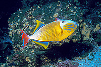 crosshatch triggerfish, Xanthichthys mento, Galapagos Islands, Ecuador