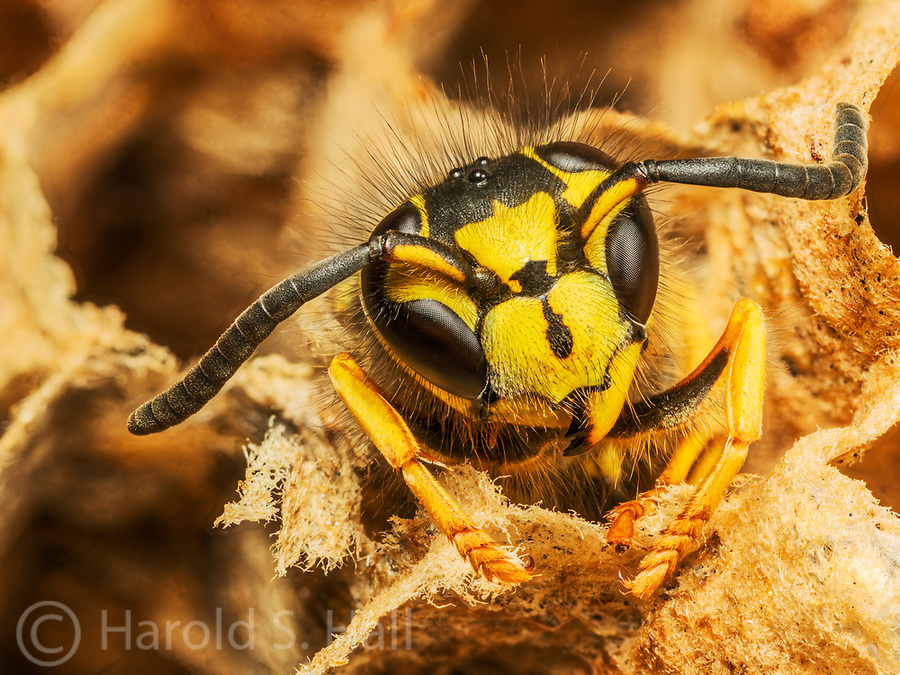 A hornet peers out of his nest.