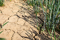 Cracked soil in wheat field due to lack of rain - Lincolnshire, June