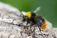Wiesenhummel, Wiesen-Hummel, Hummel, Bombus pratorum, Pyrobombus pratorum, early bumble bee, early bumblebee, early-nesting bumblebee, le bourdon des prés