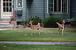 Whitetail fawns on a lawn in a Missoula, Montana neighborhood as the family dog watches through the window