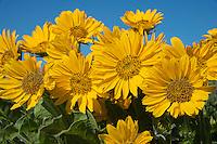 Arrowleaf Balsamroot (Balsamorhiza sagittata) wildflowers.  Columbia River Gorge, WA.  April.