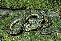 1R09-021z  Garter Snake - Thamnophis sirtalis