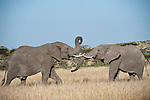 Bull African Elephants (Loxodonta africana) sparring. Ol Kinyei Conservancy, Masai Mara Game Reserve, Kenya.