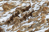 A Group of Siberian Ibex on the Run near Ulley