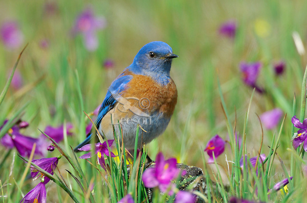 Male Western Bluebird (Sialia mexicana). The wildflowers are called Grass Widows or Blue-Eyed Grass and are one of the earliest wildflowers found in the Columbia River Gorge National Scenic Area. One often finds hardy individuals in early February, but the peak bloom for these flowers usually occurs in early March, which coincides with the return of these beautiful birds to this area