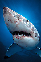 great white shark, Carcharodon carcharias, Spencer Gulf, South Australia (dc)