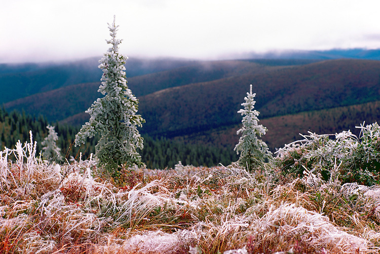 """Frost Covered Trees, Grasses, and Plants along """"Top of the World"""" Highway (elev 3493 ft), near Dawson City, YT, Yukon Territory, Canada, Summer (August)"""