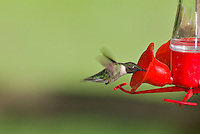 Ruby-throated Hummingbird (Archilochus colubris)Ruby-throated Hummingbird (Archilochus colubris)