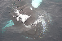 Humpback whale Megaptera novaeangliae feeding just under surface showing expanded throat pleats. Kvitøya, Arctic ocean