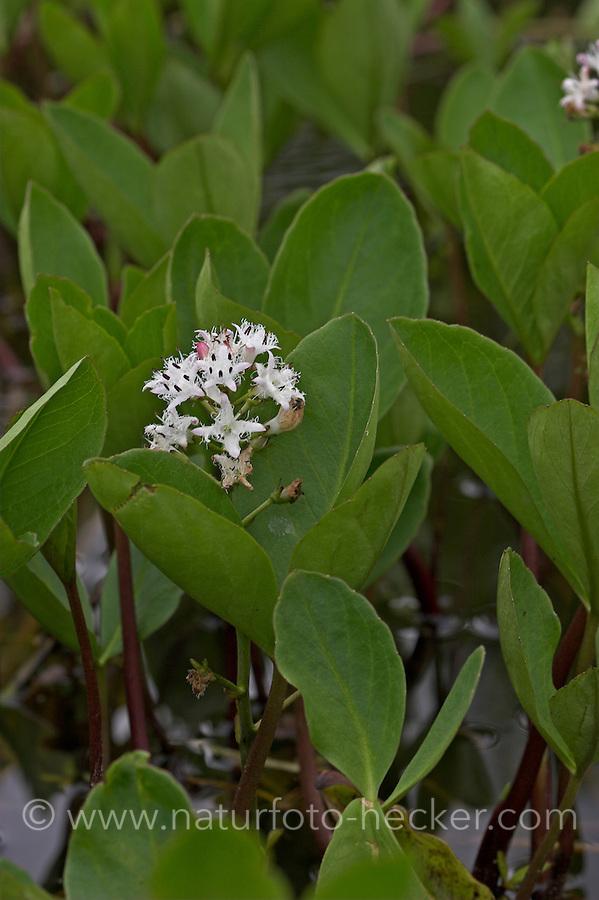 Fieberklee, Fieber-Klee, Bitterklee, Menyanthes trifoliata, Bogbean, Water Trefoil, Trèfle d´eau