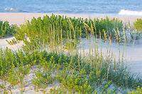 Avon, Outer Banks, North Carolina. Vegetation Stabilizes Dunes along the Seashore.