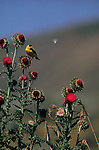 A goldfinch perches on a thistle in Grand Teton National Park.