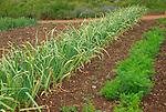 Monticello. Thomas Jefferson estate vegetable garden. Leek
