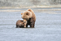 A female brown bear grooms her cub in a tidal lagoon in Alaska's McNeil River State Game Sanctuary.