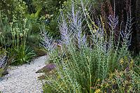 Perovskia atriplicifolia 'Filigran' (Russian Sage) flowering in Shelagh Tucker summer-dry garden, Seattle, Washington
