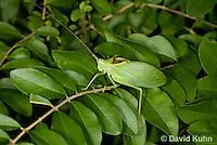 0815-0904  Common True Katydid (Northern True Katydid), Pterophylla camellifolia © David Kuhn/Dwight Kuhn Photography