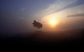 Makande, Gabon. The Dirigible carrying the Canopy Raft flying above the rainforest canopy in the morning misty sun.