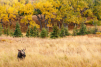 Bull Moose on tundra in grasses in Glen Alps area of Chugach State Park in Anchorage, Alaska.  Autumn/Fall<br /> <br /> Photo by Jeff Schultz/  (C) 2019  ALL RIGHTS RESERVED<br /> <br /> Bears Glaciers Fall Colors photo tour 2019