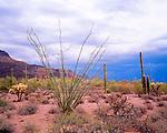 Ocotillo, Organ Pipe Cactus National Monument, Arizona