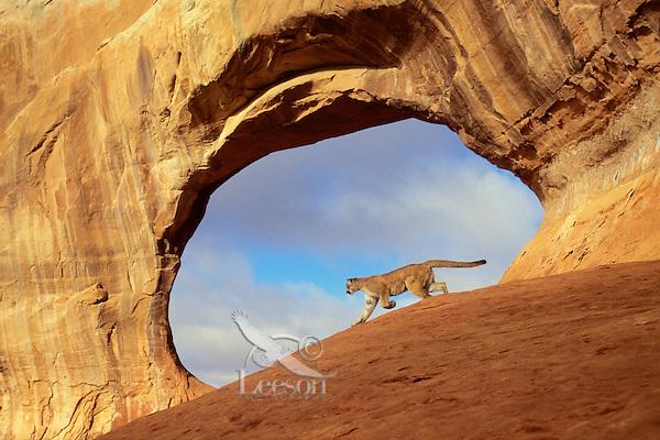 COUGAR/MOUNTAIN LION/PUMA..Near Arches National Park, Utah..Autumn. (Felis concolor).