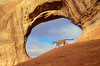 COUGAR/MOUNTAIN LION/PUMA..Near Arches National Park, Utah..Autumn. (Felis concolor).