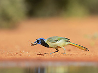 Green Jay (Cyanocorax yncas), adult eating grasshopper, Rio Grande Valley, South Texas, Texas, USA