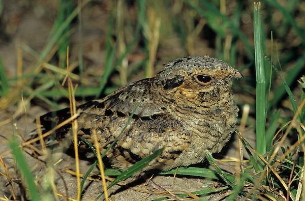 Common Pauraque, Nyctidromus albicollis,young at night on nest, The Inn at Chachalaca Bend, Cameron County, Rio Grande Valley, Texas, USA, May 2004