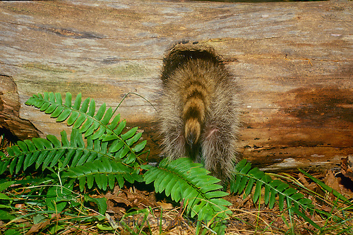 Raccoon, Pyron locotor, half in and out of log. Back end of the raccoon