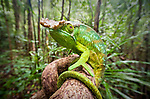 Male Parson's Chameleon (Calumma parsonii) in rainforest understorey. Masoala National Park, Madagascar.