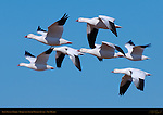 Ross's Geese in Flight, Bosque del Apache Wildlife Refuge, New Mexico