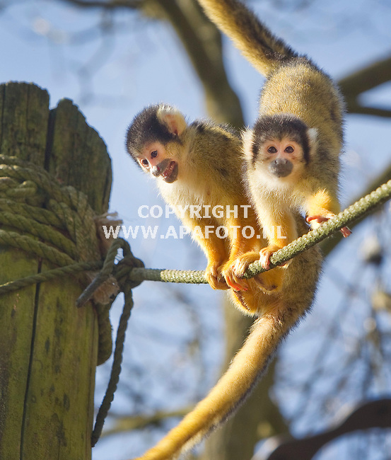 Apeldoorn, 280311<br /> Twee doodshoofdaapjes balanceren op een koord nadat ze in de Apenheul voor het eerst dit jaar weer naar buiten mogen. <br /> Foto: Sjef Prins - APA Foto