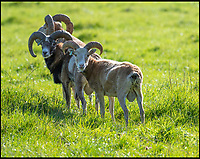 BNPS.co.uk (01202 558833)<br /> Pic: PhilYeomans/BNPS<br /> <br /> Mouflon rams - one of the closest modern survivers to stone age sheep.<br /> <br /> Back to the future - A farmer is returning his land back to the Stone Age and reintroducing species of wild animals once extinct in the UK - after becoming disenchanted with 'unsustainable' modern farming techniques.<br /> <br /> Derek Gow is using a herd of Nazi-engineered cows to spearhead his radical rewilding scheme that will create the farming version of Jurassic Park.<br /> <br /> The Heck cows that died out in the Iron Age were re-established in Nazi Germany in the 1930s as part of a genetics programme to create a breed of super cattle.<br /> <br /> Joining them on Mr Gow's 115 acre ring-fenced plot of upland in Devon will be rabbit-eating wildcats, wild boar and beavers.