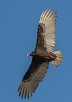 USA, Texas, Aransas Bay, Black vulture