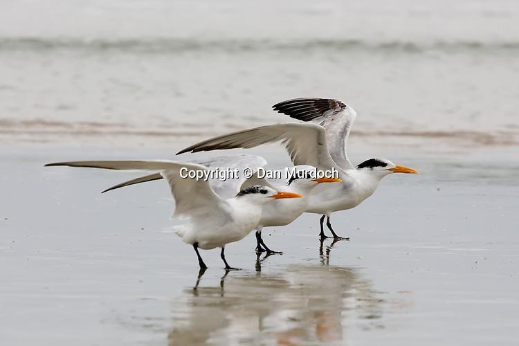 Royal terns taking flight