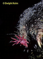 MB17-003z  Star-nosed Mole - resting after a swim - Condylura cristata