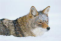 Coyote in deep snow.  Western U.S., winter.