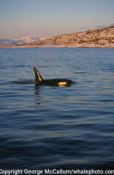 Killer whale Orcinus Orca Young Male surfacing in Fjord. Tysfjord, Arctic Norway