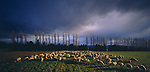 Winter at a sheep farm. Southland Region. New Zealand.
